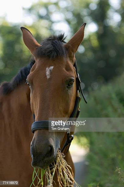 Clevland Bay cross Thoroughbred horse Oxfordshire The Cotswolds England United Kingdom