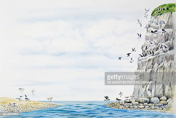 Cliff environment birds Atlantic Puffin European herring Gull Great blackbacked Gull Common Murre Common Sandpiper Oystercatcher or Pied...