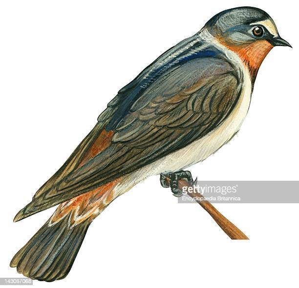 Cliff Swallow Cliff Swallow