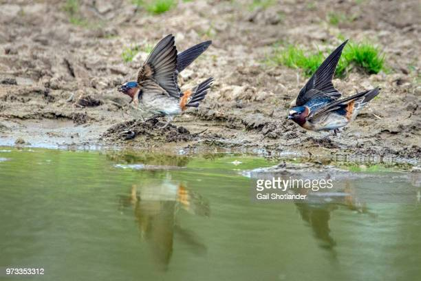 Cliff Swallows Waterside