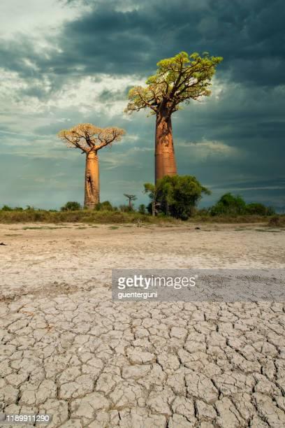 cambio climático - baobab árboles en el suelo seco de madagascar - madagascar fotografías e imágenes de stock