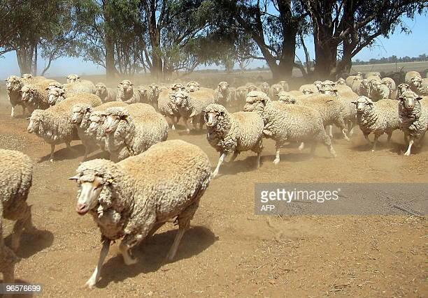 STORY ClimatewarmingAustraliafarmdroughtFOCUS by Amy Coopes Merino sheep search for feed on a dry and dusty property near Parkes in rural New South...