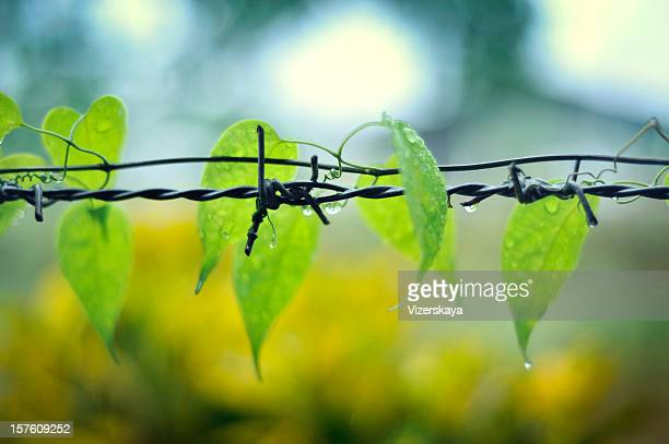 climb plant on a barbed wire