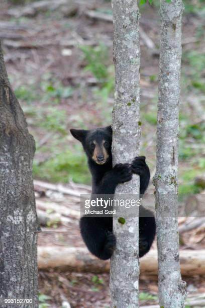 Climbing Baby Bear