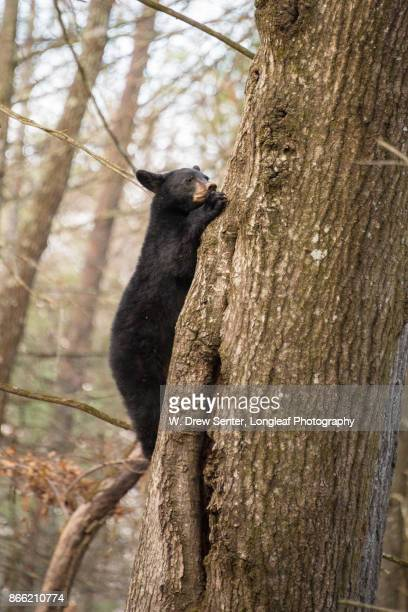 climbing bear cub - cades cove stock pictures, royalty-free photos & images