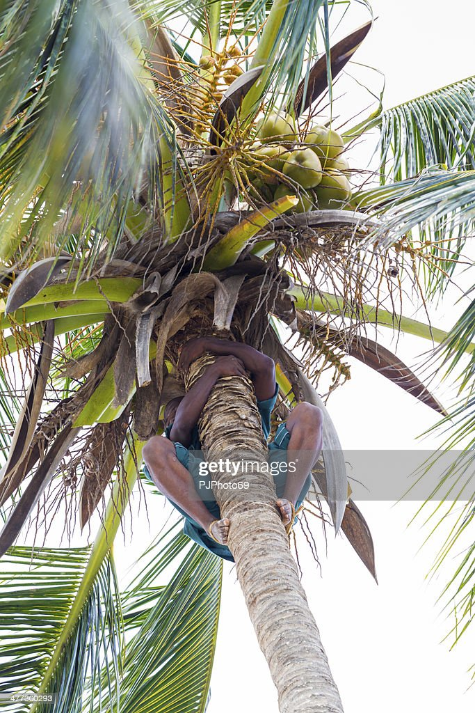 Climbing Coconut Palm and collecting fruits : Stock Photo