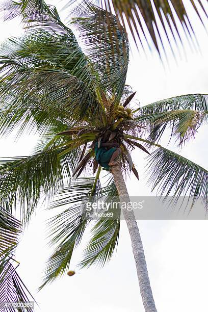 Climbing Coconut Palm and collecting fruits
