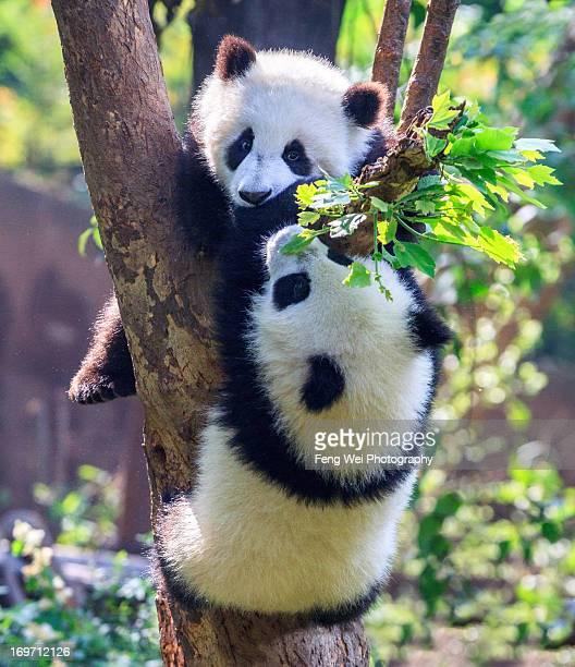 climbing competition - panda photos et images de collection