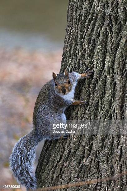 Climbing Eastern Gray Squirrel