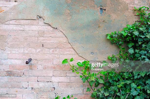 Klettern grünen Ivy auf alten Mauer