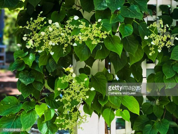 climbing hydrangea covered archway trellis in garden - mountaineering stock pictures, royalty-free photos & images