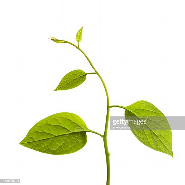 climbing plant isolated on white. - plant stem stock pictures, royalty-free photos & images