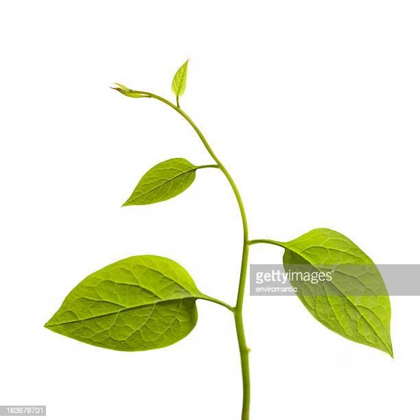 escalada planta aislado en blanco. - tallo fotografías e imágenes de stock