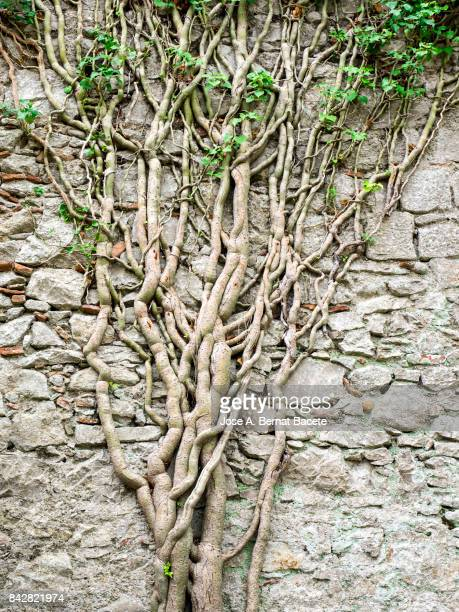 Climbing plant of ivy on a former wall of stone, with his nake roots.