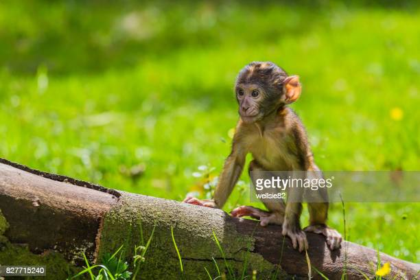 climbing practice for a baby barbary macaque - バーバリーマカク ストックフォトと画像