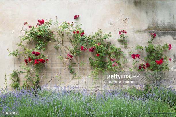 Climbing red roses on a frame on a stone wall and blooming bush.