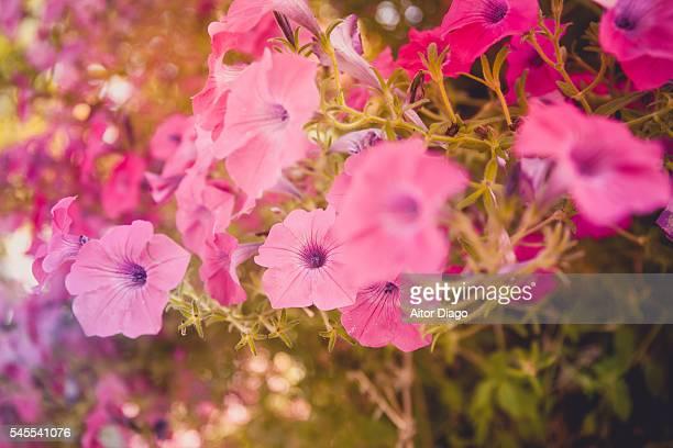 Climbing rosa vine flowers (Nasturtiums).Summer time.Madrid, Spain.