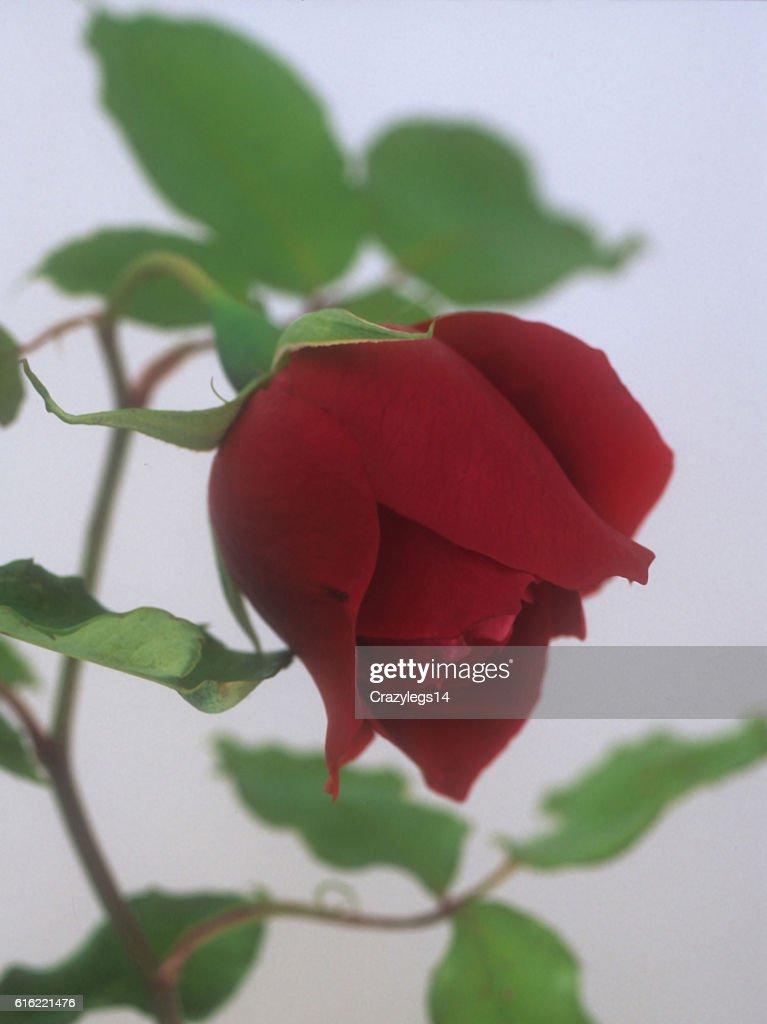 Climbing Rose : Stock Photo