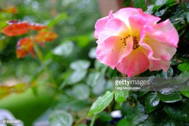 632 Climbing Rose Photos And Premium High Res Pictures Getty Images