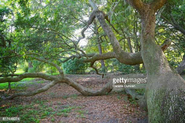 climbing tree - live oak tree stock pictures, royalty-free photos & images