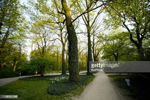 Climbing vines are seen on trees on a warm Spring day in the Royal Baths Park in Warsaw Poland on April 25 2019