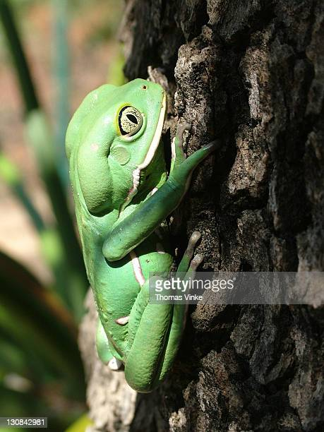 climbing waxy monkey tree frog (phyllomedusa sauvagii), gran chaco, paraguay - ugly monkey stock photos and pictures