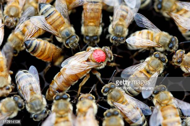 Clint Walker a central Texas beekeeper is breeding queen bees like this one marked with a red dot to help replenish hives across the country that...