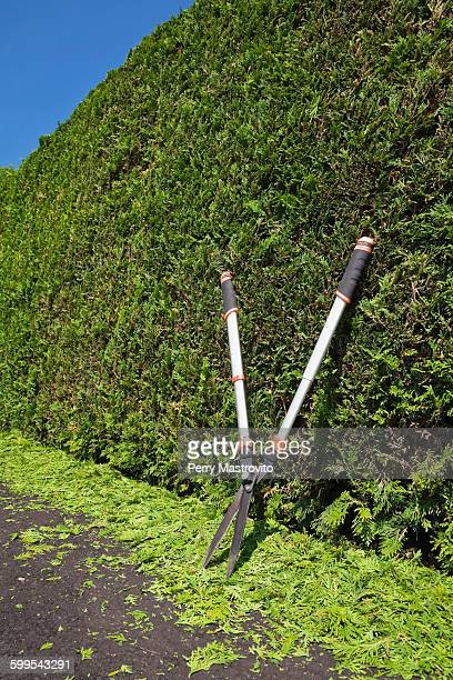 Clipped Thuja occidentalis - cedar tree hedge with garden shears and trimmings on black asphalt driveway in summer, Quebec, Canada