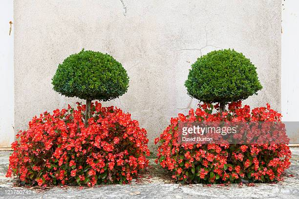 clipped yew (taxus) standards with begonias (begonia), france  - トピアリー ストックフォトと画像