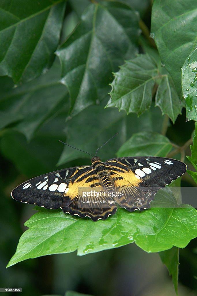 Clipper Butterfly : Stockfoto