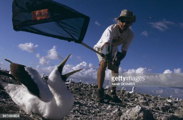 Clipperton atoll The ornithologist Matthieu Le Corre catching an adult masked booby using a net in order to study him Atoll de Clipperton...