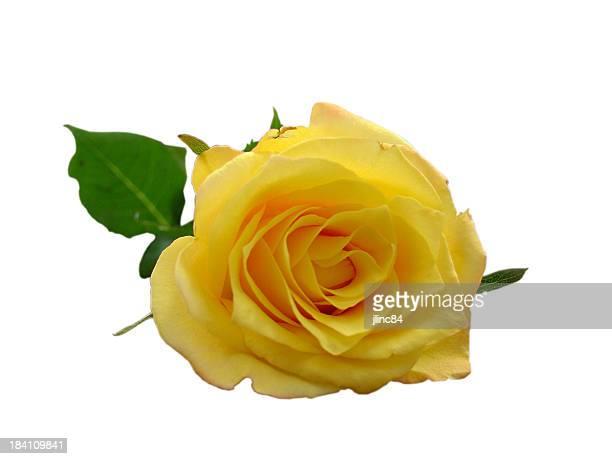 clipping path für isolierte Gelbe rose