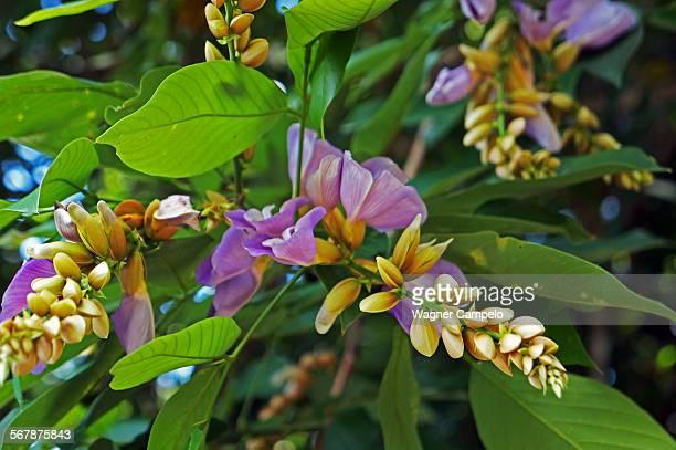 clitoria flowers - clitoria bildbanksfoton och bilder