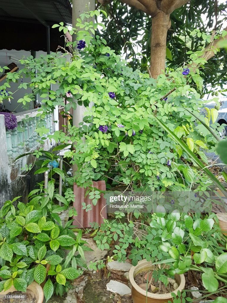 Clitoria ternatea plant  or known as Asian pigeonwings or blue pea planted in a pot : Stock Photo