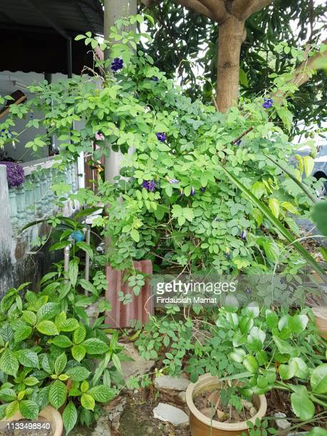 Clitoria ternatea plant  or known as Asian pigeonwings or blue pea planted in a pot