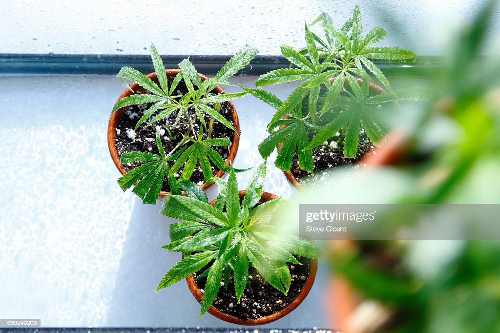 cloned cannabis plants being cultivated : Stock Photo
