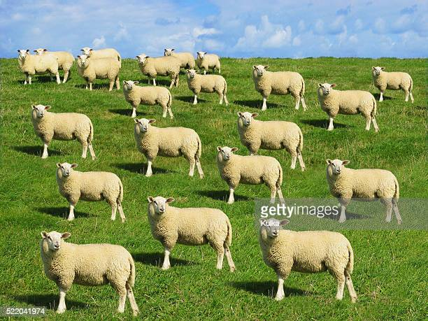 Cloned Sheep in Meadow