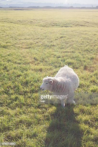 Close Eye Sheep, Lamp in Green Field with Sunray