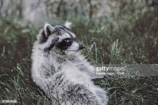 Close of a baby raccoon