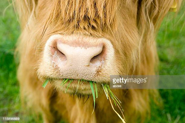 close of highland cow chewing on grass - animal nose stock pictures, royalty-free photos & images