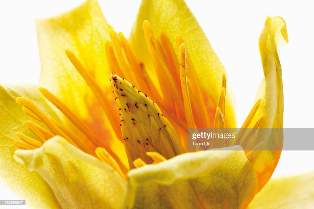 Close of tulip flower against white background : Stock Photo