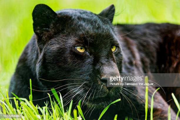 close portrait of a black leopard - black panther face stock photos and pictures