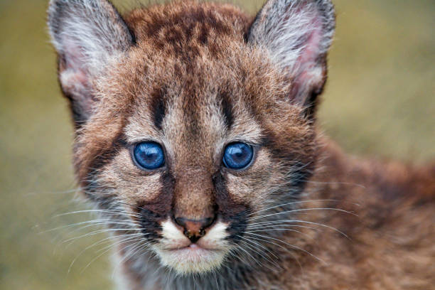 Close portrait of a cute puma cub