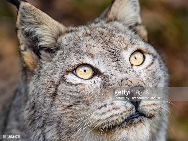 Close portrait of a lynx