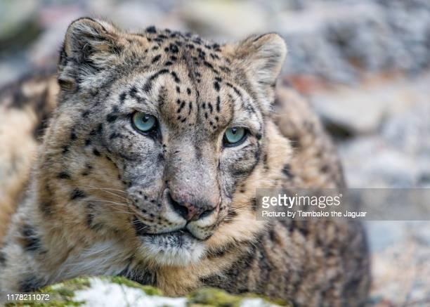 close portrait of a snow leopard - leopardo delle nevi foto e immagini stock