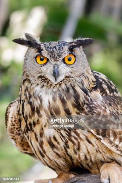 Close portrait of an Eurasian eagle owl