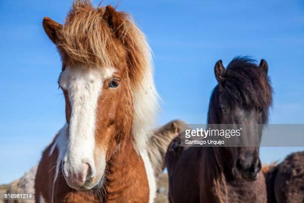Close portrait of Icelandic horses
