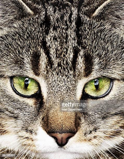Close portrait of tabby cat