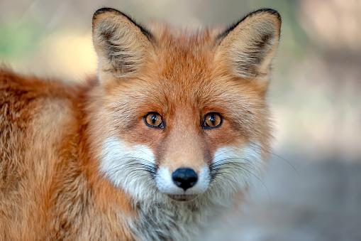 Close red fox portrait 1066252362