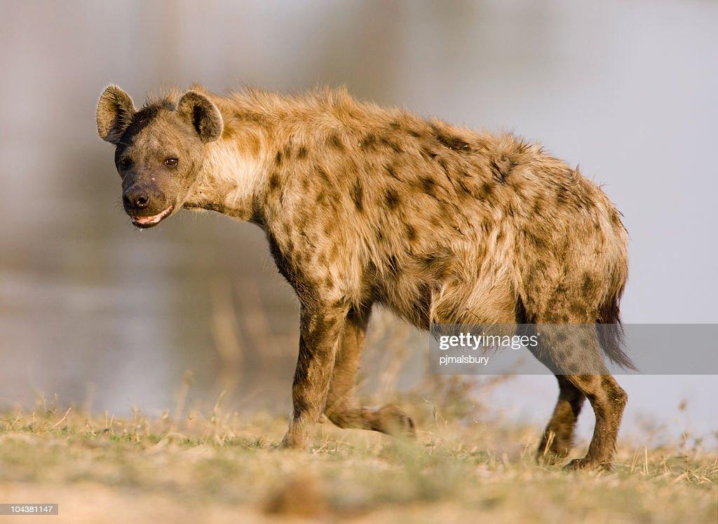 Close shot of a hyena standing : Stock Photo
